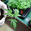 Employer Considerations in States with Medical Marijuana