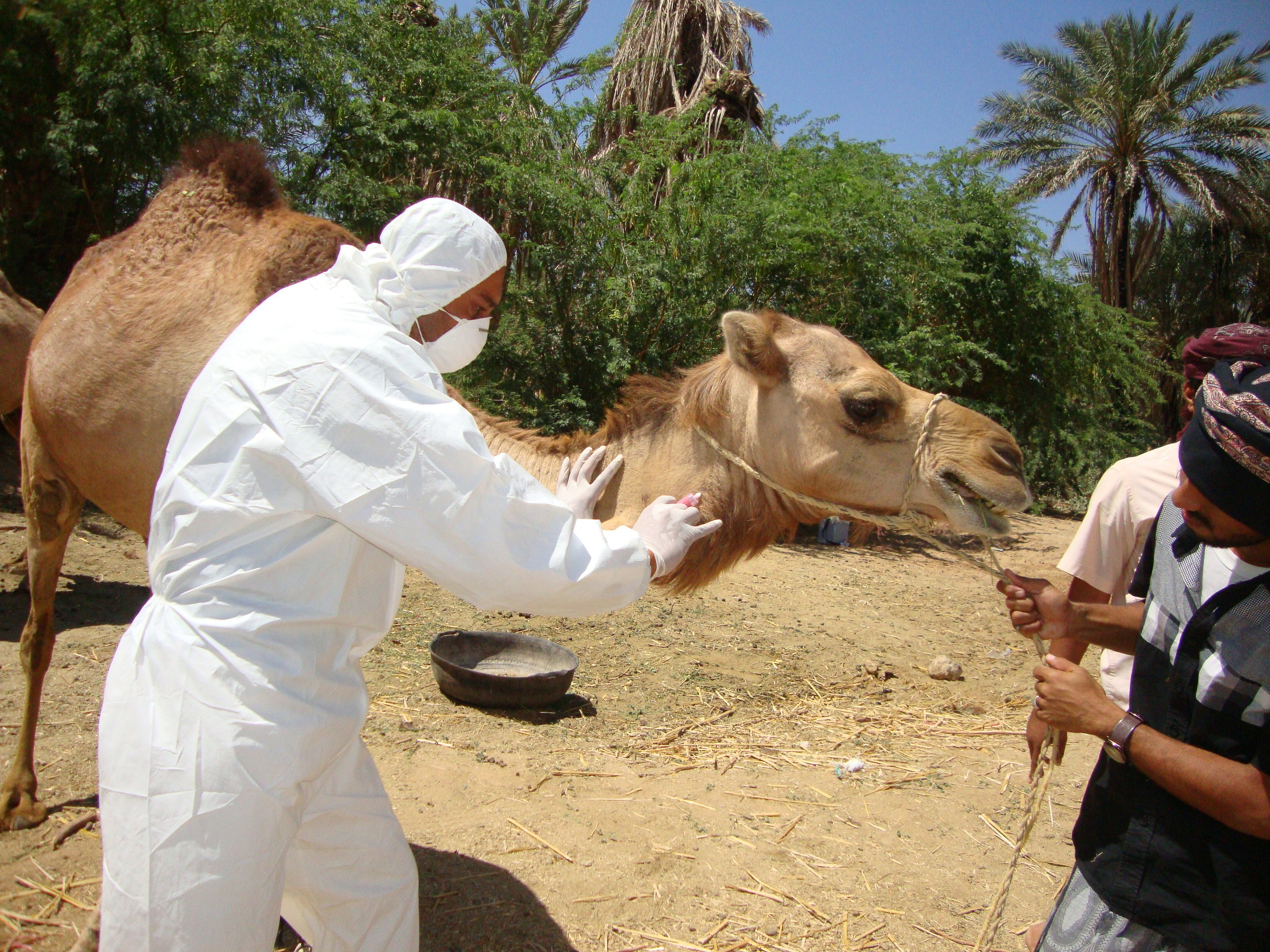 animal-geneticist-working-on-a-camel